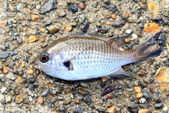 Pearl-spot chromis. (Chromis notata) in Japan stock photos
