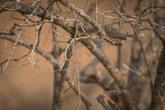 Pearl_spotted_owl fotografia stock