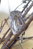 Pearl-spotted owl Royalty Free Stock Photos