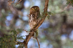 Pearl-spotted owl Royalty Free Stock Image