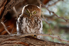 Pearl spotted owl. Pearl-spotted owl sitting on a branch in kgalagadi transfontier park, South Africa Stock Image