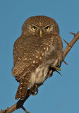 Pearl spotted Owlet. On pirtch with blue sky as background Stock Image