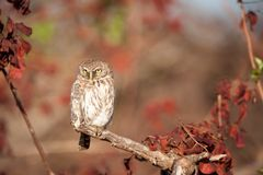 Pearl-spotted owlet (Glaucidium perlatum). The pearl-spotted owlet (Glaucidium perlatum) is an owl that breeds in Africa south of the Sahara. The owlet is a Stock Photography