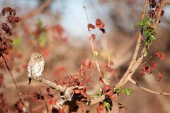 Pearl-spotted owlet (Glaucidium perlatum). The pearl-spotted owlet (Glaucidium perlatum) is an owl that breeds in Africa south of the Sahara. The owlet is a Royalty Free Stock Image