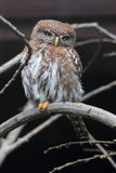 Pearl-spotted Owlet Stock Photos