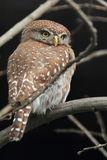 Pearl-spotted Owlet Royalty Free Stock Image