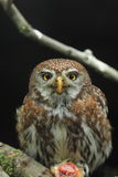 Pearl spotted-owlet Royalty Free Stock Images