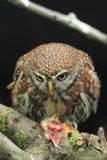 Pearl spotted-owlet Stock Photography