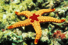 Pearl Starfish Royalty Free Stock Images