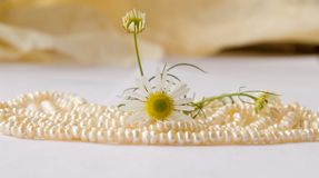 Pearls & camomile Stock Images