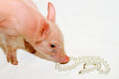 Pearls before piglet. Pearls before swine old quotation from bible stock images