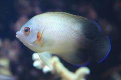 Pearlscale神仙鱼 免版税图库摄影