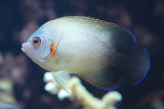Pearlscale angelfish. Floating in water royalty free stock photography