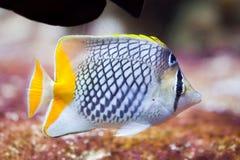 Pearlscale butterflyfish Chaetodon xanthurus Stock Photo