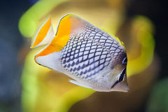Pearlscale butterflyfish Chaetodon xanthurus. Also known as the Philippines chevron butterflyfish Royalty Free Stock Photography