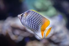Pearlscale butterflyfish Chaetodon xanthurus. Also known as the Philippines chevron butterflyfish Stock Images