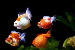 Pearlscale del pesce rosso Fotografia Stock Libera da Diritti
