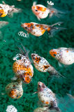 Pearlscale Goldfish Stock Photography