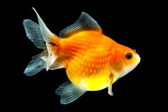 Pearlscale Goldfish On Black Stock Photography