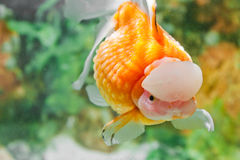 The pearlscale goldfish in China Royalty Free Stock Photography