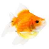 Pearlscale Goldfish Profile Royalty Free Stock Photos