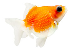 Pearlscale Goldfish Profile On White Stock Image