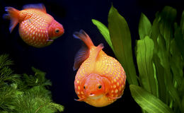 Pearlscale golf ball goldfish Stock Photos