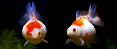 Pearlscale golf ball goldfish Stock Photo