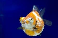 Pearlscale guldfisk Royaltyfri Bild