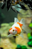 Pearlscale oranda goldfish Stock Photos