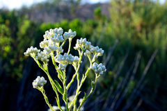 Pearly Everlasting flowers in bloom Stock Image