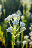 Pearly Everlasting flowers in bloom Stock Photos