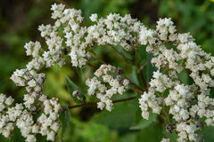 Pearly Everlasting – Anaphalis margaritacea. The Pearly Everlasting is a perennial plant with a thick, white, wooly stem with a rounded cluster of flower Royalty Free Stock Photo