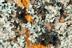 Pearly lichen on tree with black hairy texture underneath. Parmotrema perlatum Royalty Free Stock Images