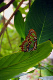 Pearly Malachite Butterfly Stock Photo
