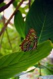 Pearly Malachite Butterfly. Latin name Siproeta stelenes Stock Photo