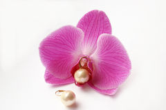 Pearly Orchid. Fresh pink orchid (Phalaenopsis) and a set of pearl earrings. One earring resting on pistil of orchid. With enough copy space. Fit for jewelry Stock Image