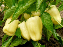 Pearly sweet peppers. Bunch of unripe pearly sweet peppers growing in a garden Royalty Free Stock Image
