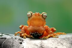 Free Pearly Tree Frog On Green Leaaves, Pearl Tree Frog Closeup, `Nyctixalus Margaritifer` Stock Image - 182877151
