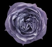 Pearly violet rose flower black isolated background with clipping path.  Closeup no shadows. Royalty Free Stock Photography
