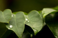 Pearly waterdrops on leaf Stock Photography