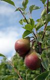 Pears. On a tree with a blue sky Royalty Free Stock Photography