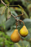 Pears. Two pears hanging on a branch stock photography