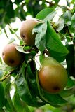 Pears. On a branch of a pear tree in orchard Royalty Free Stock Photo