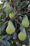 Pears. Hanging from a tree royalty free stock photos
