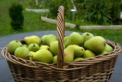 Pears. Royalty Free Stock Photography