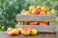 Pears royalty free stock photo