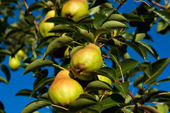 Pears. On tree branch with blue sky in the background Royalty Free Stock Photography