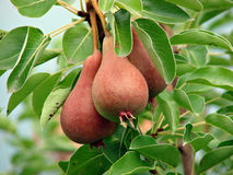Pears. A few pears on a branch (Pyrus Royalty Free Stock Image