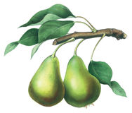 Pears. Hand made illustration of pears Royalty Free Stock Photography